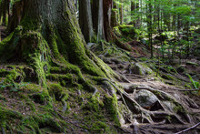 Large Exposed Moss Covered Roots And Tree Trunks In Wilderness