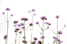A Bouquet  Of Purple Verbena F...
