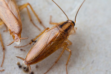 Cockroaches Close Up