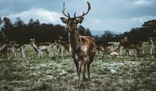 Imagen Panorámica De Un Ciervo Que Camina Al Frente En Phoenix Park En Dublín, Irlanda