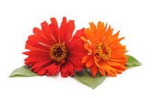 Bouquet Of Multicolored Zinnia.