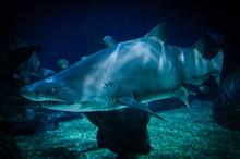 Large Ragged Tooth Shark Or Sa...
