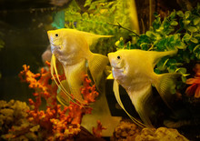 Silver Angelfish Swimming Fish...