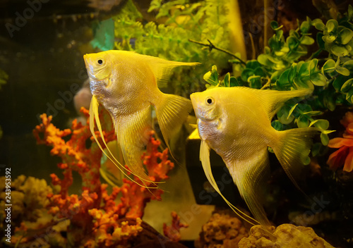Photo Silver angelfish swimming fish tank underwater aquarium / Pterophyllum scalare -