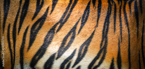 Stampa su Tela Tiger pattern background / real texture tiger black orange stripe pattern bengal