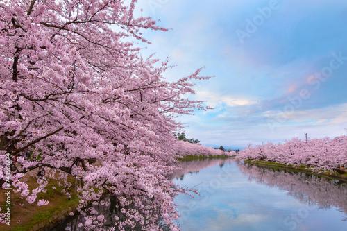 Photo sur Toile Lieu connus d Asie Full bloom Sakura - Cherry Blossom at Hirosaki park, Japan