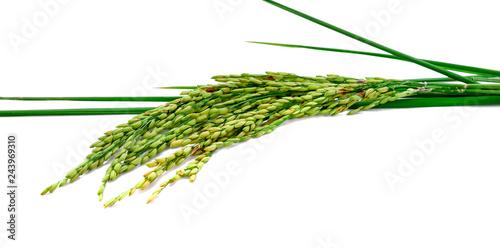 Fotografia  fresh rice plant isolated on white background