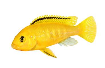 Electric yellow cichlid Labidochromis caeruleus Malawi Aquarium Fish