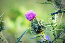 Cirsium Vulgare, Spear Thistle...