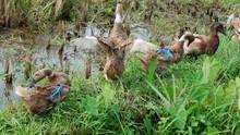 Ducks Grazed In The Fields