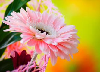 Panel Szklany Do sypialni Beautiful gerber flower