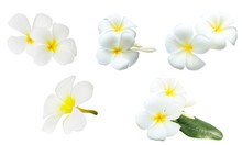 Collection Of White Tropical Flowers Frangipani (plumeria) Isolated On White Background..