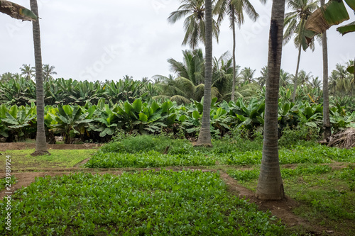 Photo  Fruit plantations in Salalah, Oman