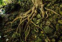 Fairy Forest, Roots On The Stone
