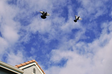 Pigeons Flying Away From Residential Home