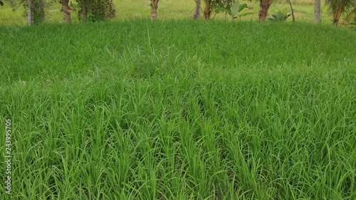 Green background. 4K flying drone video of rice field on Bali island. Green and yellow landscape. Rice farm, grass, nature.