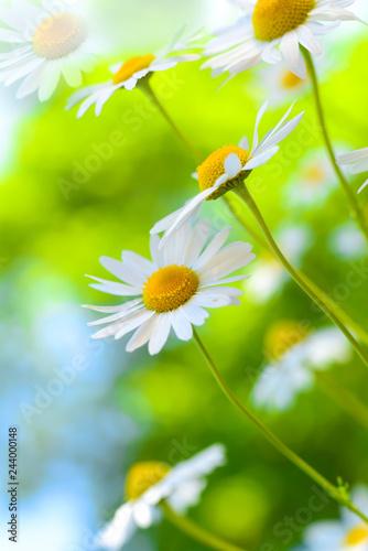 In de dag Madeliefjes Margeriten - Heilpflanze