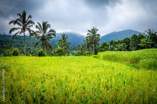 Garden Poster Rice fields Paddy field rice terraces, Munduk, Bali, Indonesia