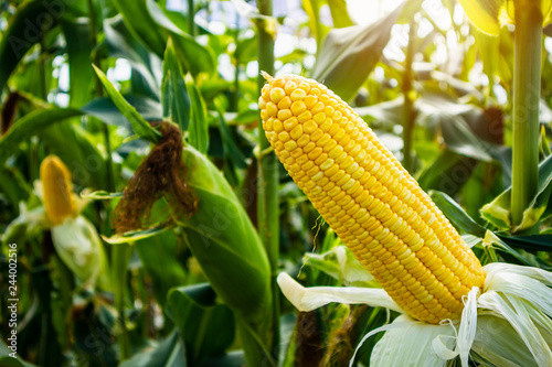 Fotografía  Corn cob with green leaves growth in agriculture field outdoor