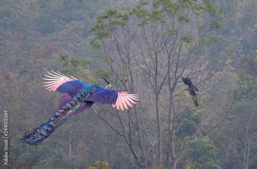 Fototapeta premium Samiec pawia leci do drzewa z innym samcem.