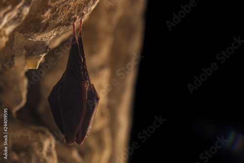 Close Up Small Sleeping Horseshoe Bat Covered By Wings Hanging