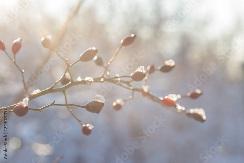Fototapety, obrazy: Christmas tree branch with snow, winter fairy tale, wild rose in the snow