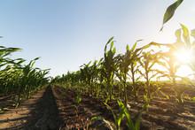 Corn On Stalk In Field Before Harvest