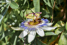 Bee On Summer Seasonal Passion Fruit Flower