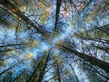 Up The Converging Trunks Of Tall Thin Fir Trees To The Winter Sky