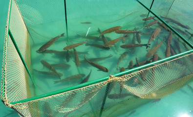 Close up on The grass carp (Ctenopharyngodon idella) fish in cage for fish farming. Fish farm.