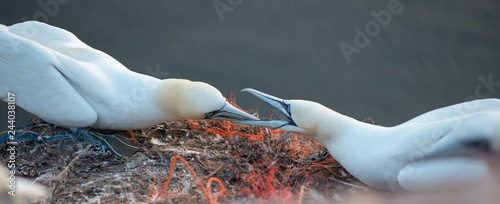 Basstölpel (Morus bassanus oder Sula bassana), Kolonie auf Lummenfelsen der Insel Helgoland, Alttiere verteidigen Revier, Plastikmüll, Nordsee, Schleswig-Holstein, Deutschland, Europa