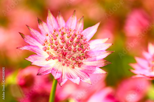 Photo Close up of an astrantia flower
