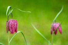 Snakes Head Fritillary Flower ...