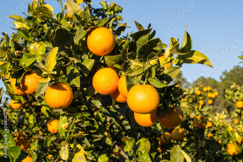 Ripe oranges on the tree