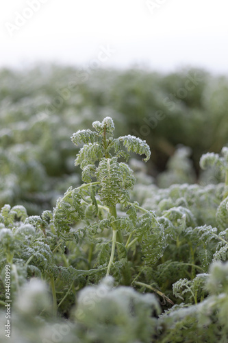 Fotografie, Obraz  Frost in the field , kale leaves covered with frost.