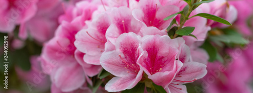 Tuinposter Azalea blur floral background lush fresh azalea flowers