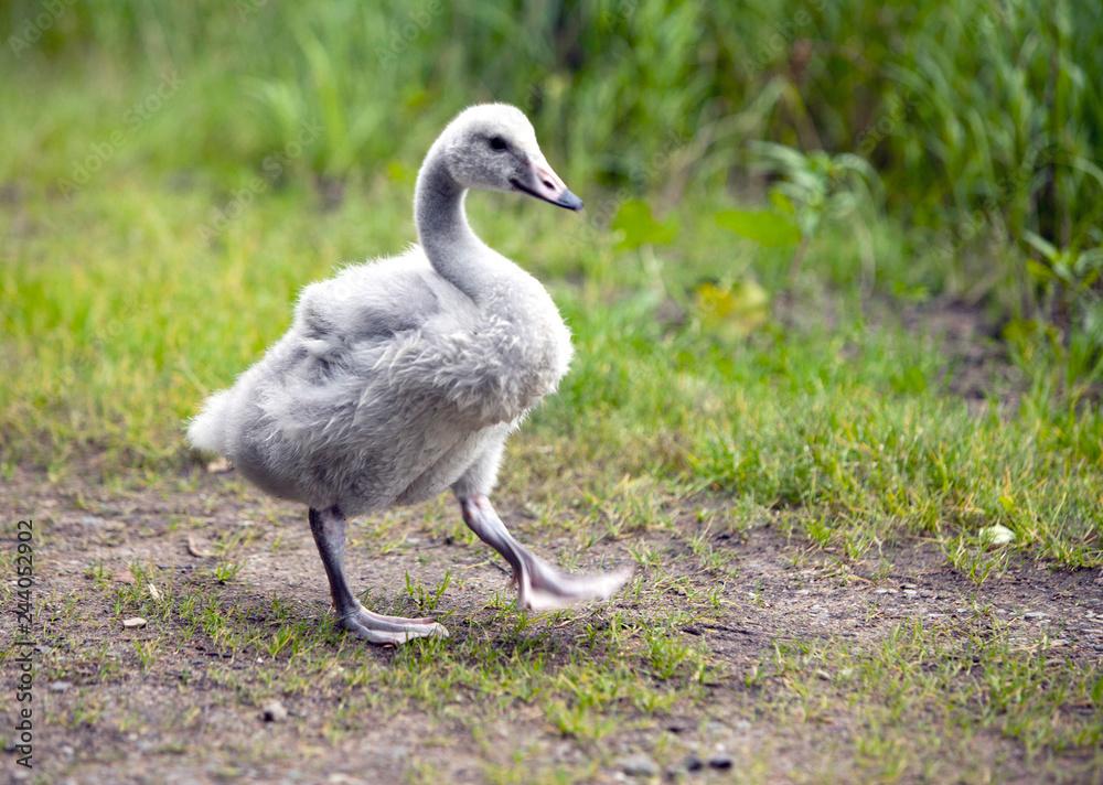 baby bird of a swan