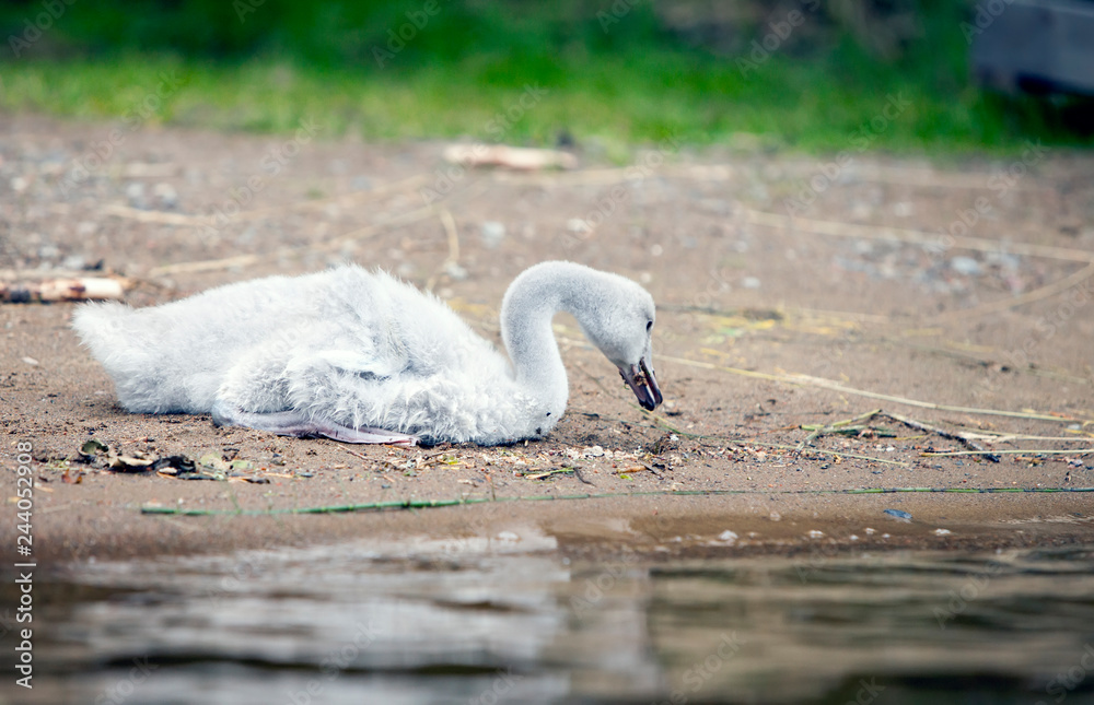 The young swan on the bank of the lake