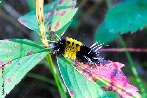 Fotografia, Obraz  A yellow and black spotted tussock caterpillar crawls on leaves