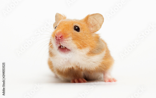 Syrian hamster looking