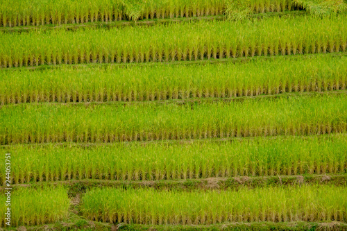 Terraced rice field in Northern Thailand