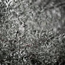 Bird In Tree With Red Berrys B&W