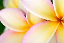 Plumeria Or Frangipani Flower, Tropical Flower.