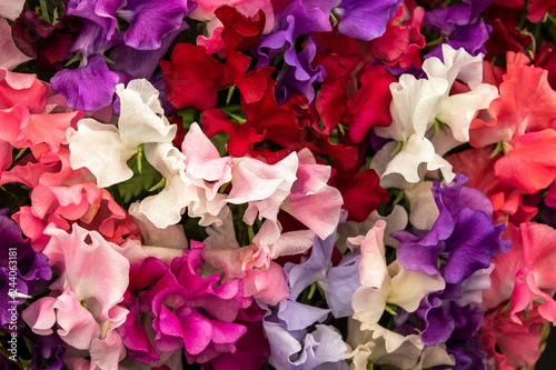 Photo sur Toile Fleur sweet pea Mixed Spencer (Lathyrus oderatus)
