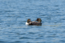 Loons, Minnesota State Bird