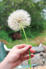 A Large Tragopogon Held In A Hand