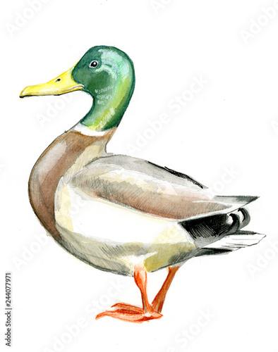 mallard duck on white background Wall mural