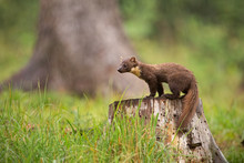 European Pine Marten, Martes Martes, Standing On A Stump In Forest In Rain. Small Predator Looking For A Prey. Wildlife Scenery From Nature,