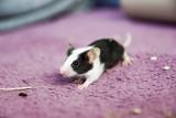 Fototapeta Zwierzęta - Myszka