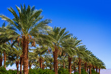 Row Of Palm Date Trees In A Ro...